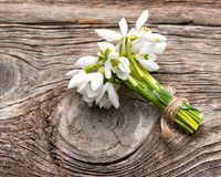 Snowdrops bunch Stock Photography