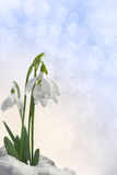 Snowdrops card. Snowdrops on a gentle background Royalty Free Stock Image