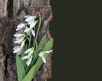 Snowdrops card. Dramatic Spring flowers on a rustic wooden backg Royalty Free Stock Image