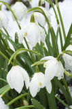 Snowdrops close-up Royalty Free Stock Images