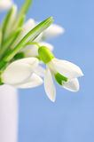 Snowdrops close-up Stock Photos