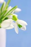 Snowdrops close-up Stock Photos