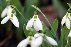 Snowdrops close up Royalty Free Stock Images