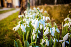 Snowdrops. A close-up photo of snowdrop flowers in a garden with blurry background royalty free stock photography