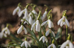 Snowdrops close-up shot Stock Photos