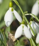 Snowdrops close vertical Royalty Free Stock Image