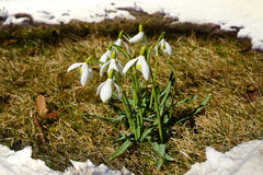 Snowdrops closeup. Stock Images