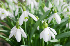 Snowdrops. Closeup snowdrops in a spring garden royalty free stock photography
