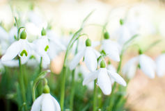 Snowdrops. Cluster of snowdrops & x28;galanthus& x29; with shallow depth of field Stock Photos