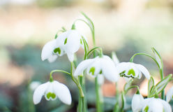 Snowdrops. Cluster of snowdrops galanthus with shallow depth of field Royalty Free Stock Images