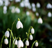 Snowdrops. Cluster snowdrops galanthus with shallow depth of field Royalty Free Stock Image