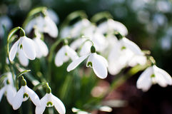 Snowdrops. Cluster snowdrops galanthus with shallow depth of field Stock Image