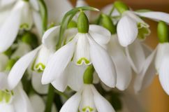 Snowdrops Royalty Free Stock Photography