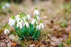 Snowdrops como salta primeiramente flores Plantas que florescem na folha do ` s do ano passado fotografia de stock