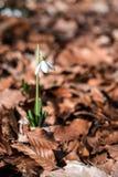 Snowdrops contra as folhas velhas na floresta da mola fotos de stock
