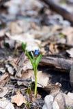Snowdrops contro le vecchie foglie in il legno di primavera fotografia stock libera da diritti
