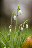 Snowdrops covered in morning dew Stock Photo