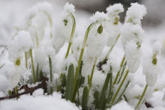 Snowdrops. Covered in newly fallen snow Royalty Free Stock Photography