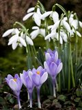 Snowdrops and crocus Stock Photo