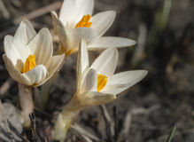 Snowdrops crocus. First spring flowers Stock Images
