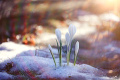 Snowdrops crocus. Spring card with snowdrops crocus Stock Photo