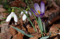 Snowdrops and crocus Stock Image