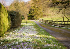 Snowdrops and Crocuses Blooming in a Grassy Border Royalty Free Stock Images