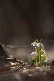 Snowdrops dans la forêt Photos libres de droits