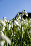 Snowdrops de Dartmoor Images stock