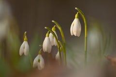 Snowdrops de florescência Fotos de Stock Royalty Free