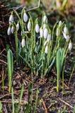 Snowdrops de florescência Fotografia de Stock