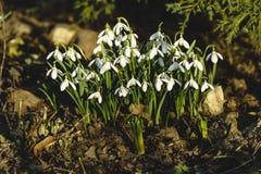 Snowdrops de florescência, mola adiantada Fotografia de Stock Royalty Free