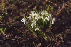 Snowdrops de florescência, mola adiantada Imagens de Stock