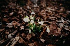 Snowdrops de la primavera Foto de archivo libre de regalías