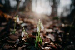 Snowdrops de la primavera Imágenes de archivo libres de regalías