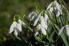 Snowdrops de la primavera Fotografía de archivo