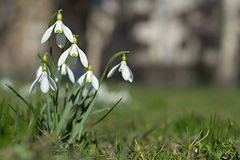 Snowdrops de la primavera aislados Imagen de archivo libre de regalías