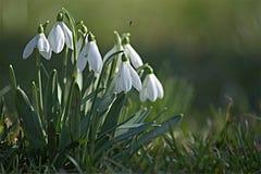 Snowdrops de la primavera aislados Fotografía de archivo libre de regalías
