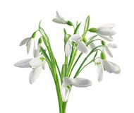 Snowdrops de la primavera aislados en blanco imágenes de archivo libres de regalías