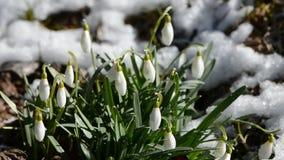 Snowdrops de la primavera con nieve y el huevo de Pascua del amarillo metrajes