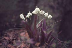 Snowdrops de la primavera a principios de marzo en el bosque Imagen de archivo libre de regalías
