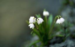 Snowdrops de la primavera a principios de marzo en el bosque Foto de archivo libre de regalías