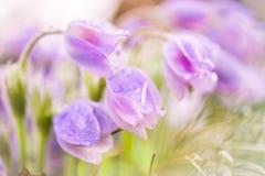 Snowdrops delicados das flores Fotografia de Stock Royalty Free
