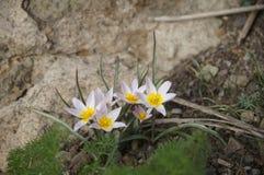 Snowdrops delicados nas montanhas persas Foto de Stock Royalty Free