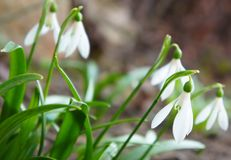 Snowdrops. Delicate white snowdrops on a background of green foliage Stock Image
