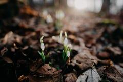 Snowdrops della sorgente fotografia stock