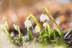 Snowdrops in der Hintergrundbeleuchtung Weiße schöne Frühlingsblume lizenzfreie stockbilder
