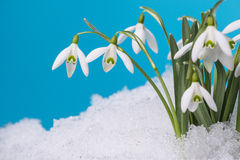 Snowdrops in detail Stock Photo
