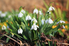 Snowdrops detail Royalty Free Stock Photography