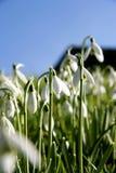 Snowdrops di Dartmoor Immagini Stock